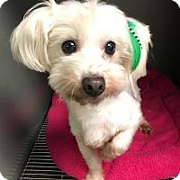 Adopt A Pet :: Holly - Costa Mesa, CA