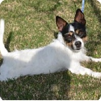 Jack Russell Terrier/Rat Terrier Mix Dog for adoption in Bowie, Maryland - Jase