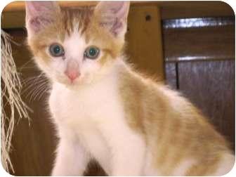 Domestic Shorthair Kitten for adoption in Warren, Ohio - Rocco