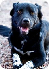 Border Collie Dog for adoption in Litchfield Park, Arizona - Duke - Only $65 adoption fee!