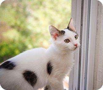 Domestic Shorthair Kitten for adoption in St. Louis, Missouri - Xavier