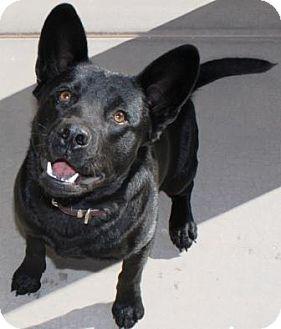 Australian Kelpie/Chow Chow Mix Puppy for adoption in Gilbert, Arizona - Mike