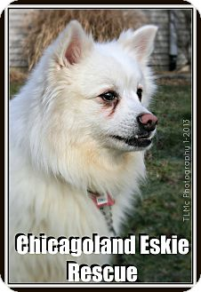 American Eskimo Dog Dog for adoption in Elmhurst, Illinois - Elvis