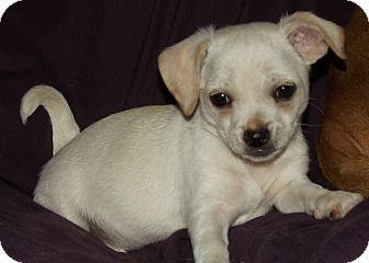 Chihuahua/Dachshund Mix Puppy for adoption in Phoenix, Arizona - Chunk