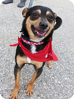Chihuahua Mix Dog for adoption in Detroit, Michigan - Willie-Adopted!