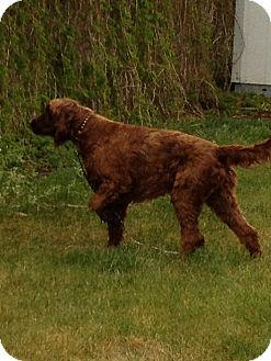 Irish Setter Dog for adoption in Ogden, Utah - Anne