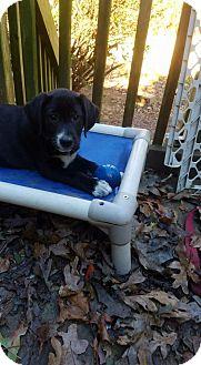 Labrador Retriever/Hound (Unknown Type) Mix Puppy for adoption in Charlestown, Rhode Island - Riley