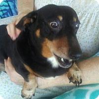Adopt A Pet :: BamBam - Pearland, TX