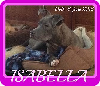 Pit Bull Terrier Mix Dog for adoption in New Brunswick, New Brunswick - ISABELLA