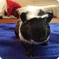 Adopt A Pet :: Bartholomew - Harleysville, PA