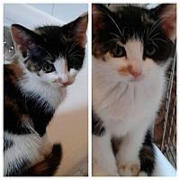 Adopt A Pet :: Coco - New  York City, NY