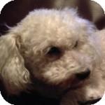 Bichon Frise Mix Dog for adoption in La Costa, California - Lexi