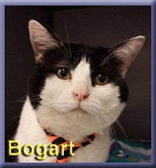 Domestic Shorthair Cat for adoption in Aldie, Virginia - Bogart