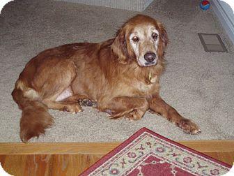 Golden Retriever Mix Dog for adoption in Denver, Colorado - Molly