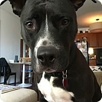 Adopt A Pet :: Zeus - New York, NY