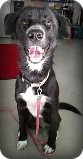Border Collie Mix Dog for adoption in Muskegon, Michigan - Letty