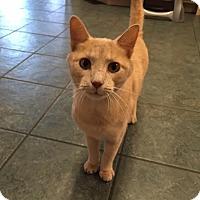 Domestic Shorthair Cat for adoption in St. Louis, Missouri - Baxter (courtesy post)