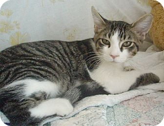 Domestic Shorthair Cat for adoption in Germansville, Pennsylvania - Russ