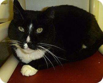 Domestic Shorthair Cat for adoption in Hamburg, New York - Sylvester