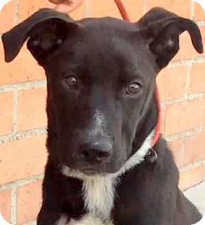Labrador Retriever/Pit Bull Terrier Mix Puppy for adoption in Los Angeles, California - ZEPPELIN (video)