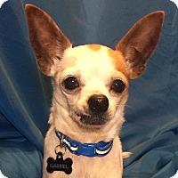 Adopt A Pet :: Gabriel (Special Needs) - San Leandro, CA