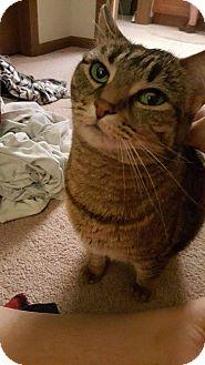 Domestic Shorthair Cat for adoption in Toledo, Ohio - Amira
