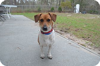 Dachshund/Jack Russell Terrier Mix Dog for adoption in Weeki Wachee, Florida - Max