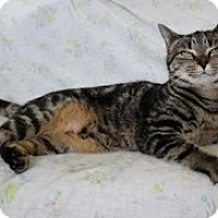 Domestic Shorthair Cat for adoption in Stuart, Virginia - Mila