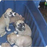 Adopt A Pet :: Pit Bull Litter of 8 - Mesa, AZ