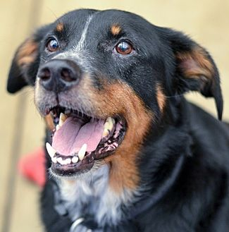 Shepherd (Unknown Type) Mix Dog for adoption in Dallas, Texas - DALLAS