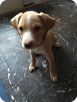 Shepherd (Unknown Type)/Labrador Retriever Mix Puppy for adoption in Detroit, Michigan - Blondie-Adopted!