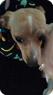 Chihuahua Mix Dog for adoption in Floral City, Florida - Fred