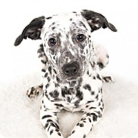 Dalmatian/Rat Terrier Mix Puppy for adoption in St. Louis Park, Minnesota - Perdita