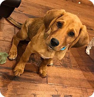 Golden Retriever/Border Collie Mix Puppy for adoption in Manhattan, Illinois - Brady