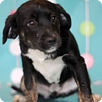 Adopt A Pet :: Hula - Waldorf, MD