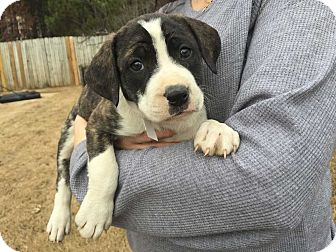 Boxer Mix Puppy for adoption in Acworth, Georgia - Reptiles - Magazine Litter