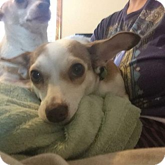 Chihuahua Mix Dog for adoption in Milwaukee, Wisconsin - Gracie
