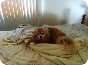 Pomeranian Dog for adoption in Chesapeake, Virginia - Roo