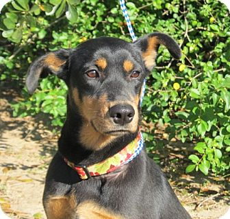 Manchester Terrier/Hound (Unknown Type) Mix Dog for adoption in Kingwood, Texas - Lacey