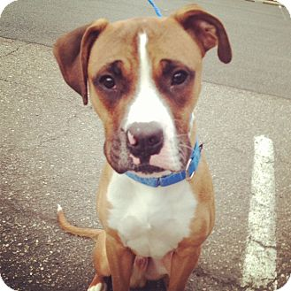Boxer Mix Dog for adoption in Rockaway, New Jersey - Stallone