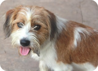 Petit Basset Griffon Vendeen/Wirehaired Fox Terrier Mix Dog for adoption in Norwalk, Connecticut - Oakley - adoption pending