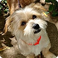 Adopt A Pet :: Guy - Mission Viejo, CA