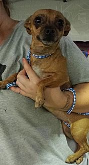 Chihuahua/Terrier (Unknown Type, Medium) Mix Dog for adoption in Porter Ranch, California - Violet Rose (PRA)