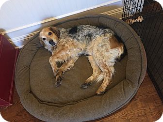 Australian Shepherd/Beagle Mix Dog for adoption in Bedford Hills, New York - Rusty