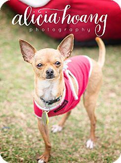 Chihuahua Dog for adoption in Arlington, Texas - Petey