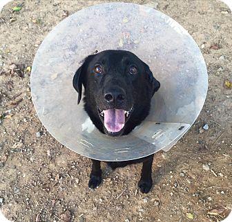 Labrador Retriever Mix Dog for adoption in Cumming, Georgia - Dozer