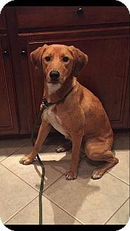 Labrador Retriever/Hound (Unknown Type) Mix Dog for adoption in New Oxford, Pennsylvania - Dory