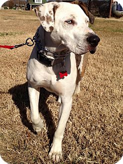 Catahoula Leopard Dog/Hound (Unknown Type) Mix Dog for adoption in Pulaski, Tennessee - Sooner