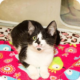 Domestic Shorthair Kitten for adoption in Seville, Ohio - Jameson