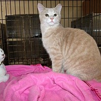 Domestic Shorthair Cat for adoption in Napoleon, Ohio - Malaki